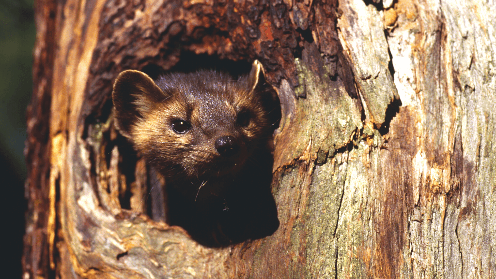 A fisher cat peeking its head out of a hole in a dead tree.