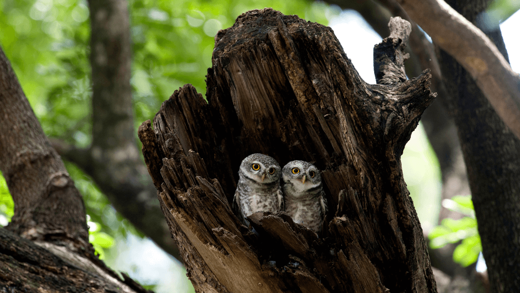 Two small owls perched inside a hallowed out dead tree.